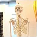 人体骨の模型